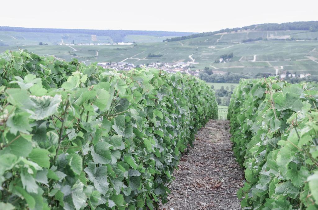 O tom, jaký byl náš výlet do Champagne - tentokrát do oblasti Côte des Blancs s návštěvou města Épernay a za zkroucenými stromy do Faux de Verzy.