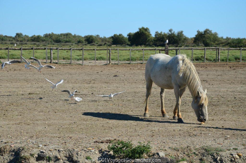 kůň camargský