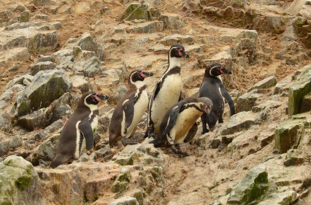 Humboldtovi tučňáci