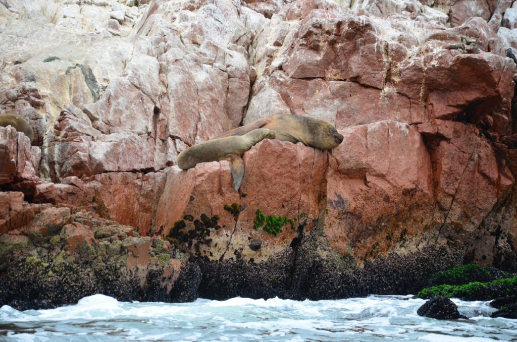 lachtani na ostrovech Ballestas