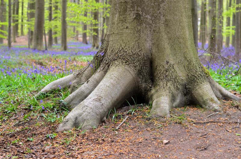 Pár kilometrů od Bruselu najdete jedinečný les Hallerbos (holandsky) neboli Bois de Hal (francouzsky), který se na konci dubna mění v mystické místo - tisíce modrých zvonků tu vytvoří modrý květinový koberec.