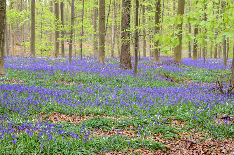 Modrý les Hallerbos neboli Bois de Hal přitahuje návštěvníky zejména na konci dubna, kdy je tu k vidění krásný modrý koberec tvořený rozkvetlými hyacinty.