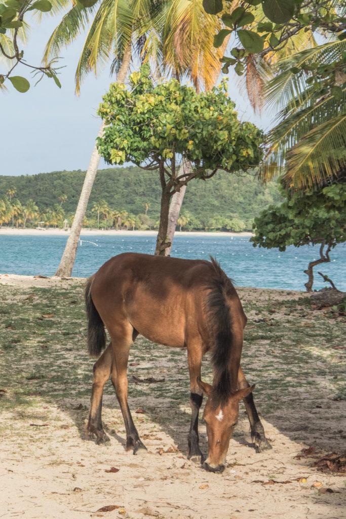 Pokud si chcete v Portoriku užít klidného ráje, krásných a divokých pláží, kde budete daleko od hlučícího davu, potkávat divoké koně volně se pohybující kolem, nebo se třeba projet v kajaku v bioluminescenční zátoce, pak je ostrov Vieques ta pravá volba. Tady je to nezbytné, co potřebujete vědět, než se tam vydáte.